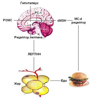 leptinovaia-dieta-foto-2